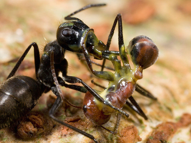 Exploding Ants Kill Foes, and Themselves, with a Blast of Toxic Goo