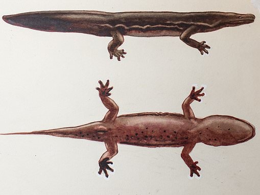 Scientists discover the 'world's biggest amphibian'
