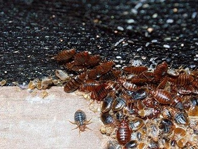 Are The Bed Bugs In Washington D.C. Dangerous?
