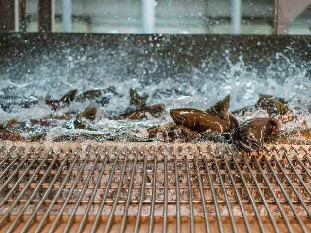 Farmed Salmon 'Likely' Passed Virus to Wild Pacific Salmon