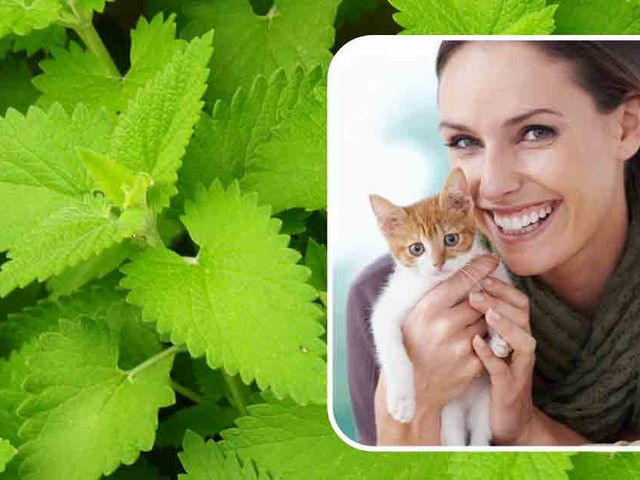 Catnip: An Herb That You and Your Cat Would Love