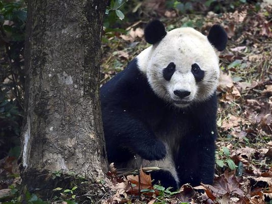 US-born Bei Bei settles into new home at Chinese panda base