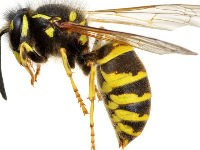 College considers nixing wasp mascot, fearing tie to 'White Anglo-Saxon Protestants'
