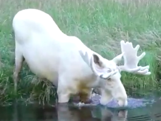 Footage Of Rare White Moose Taking A Dip Makes A Big Splash