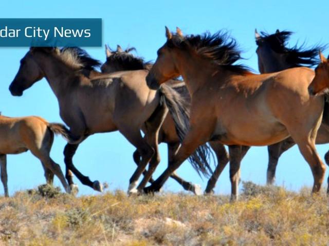 BLM conducting wild horse roundup throughout Washington, Iron counties