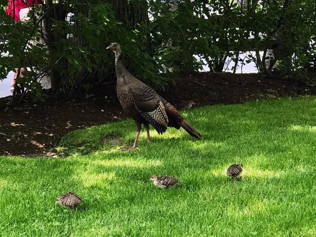 Baby Turkey Season in Cambridge