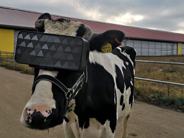 Cows wearing VR headsets might produce better milk