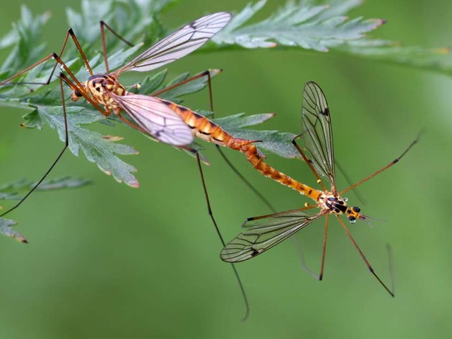Genetically Engineered Mosquitoes Cross With Natural Species