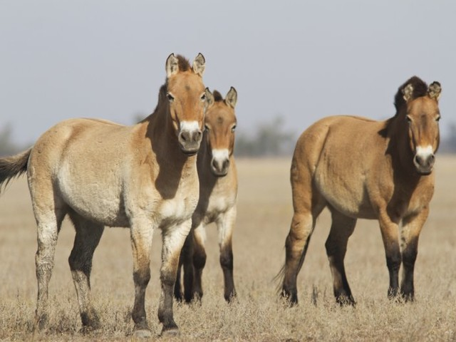 Origins of domesticated horses traced to north Caucasus region, study finds