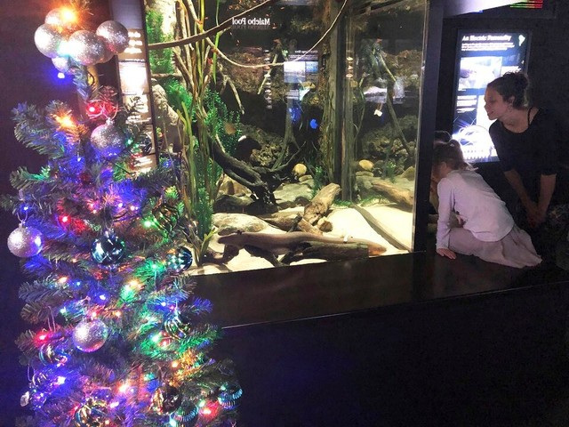 Electric eel powers Tennessee Aquarium's Christmas lights, in shocking use of science