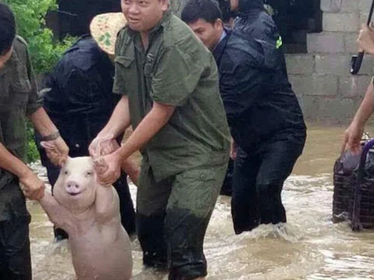 """""""Sky Has Fallen"""" - Chinese Farmers Reel After Floodwaters Devastate Pig Herds"""