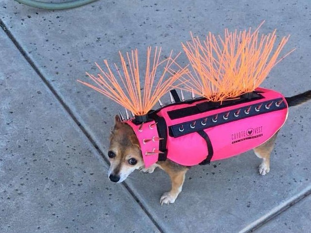 There's Nothing Cuter Than This Dog In Her Coyote-Proof Vest