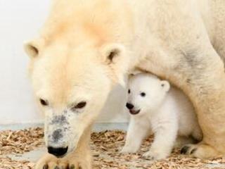 Berlin's polar bear cub growing fast, public debut soon