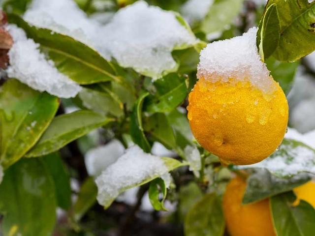 Documentary — Nebraska Retiree Uses Earth's Heat to Grow Oranges in Snow