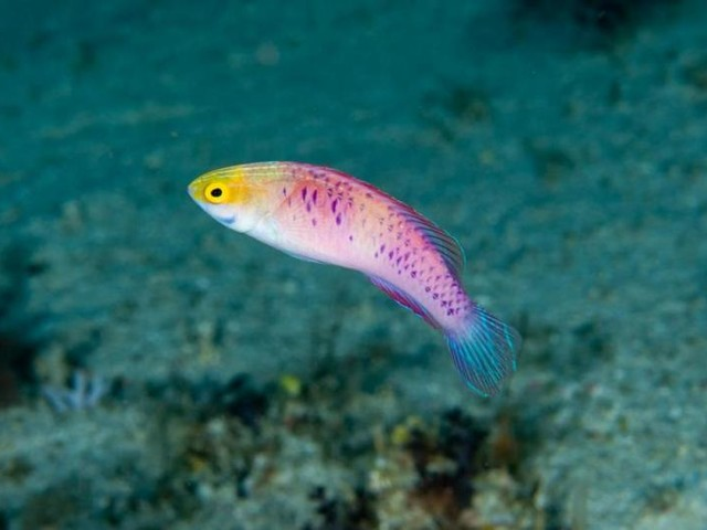 Scientists name Zanzibar reef fish after Black Panther's homeland