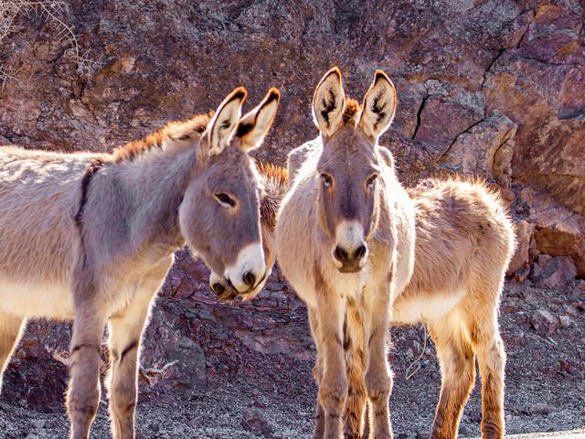 $10,000 reward offered for arrest of wild burro killers