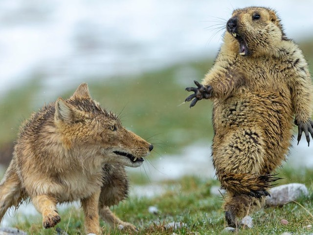 The best wildlife photos taken this year reveal a horde of interlocked ants and a vicious stand-off between a fox and a marmot