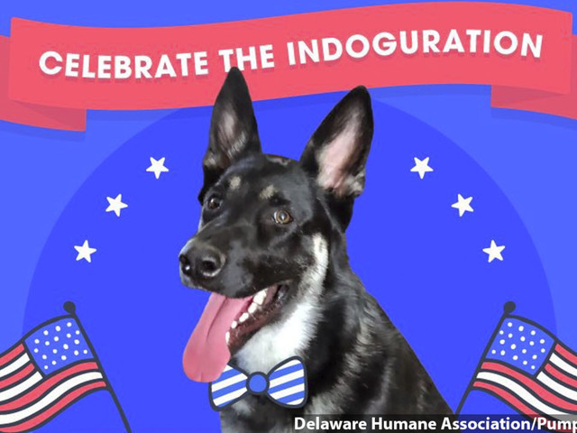 Future first dog Major Biden, adopted from a shelter, gets virtual 'indoguration'
