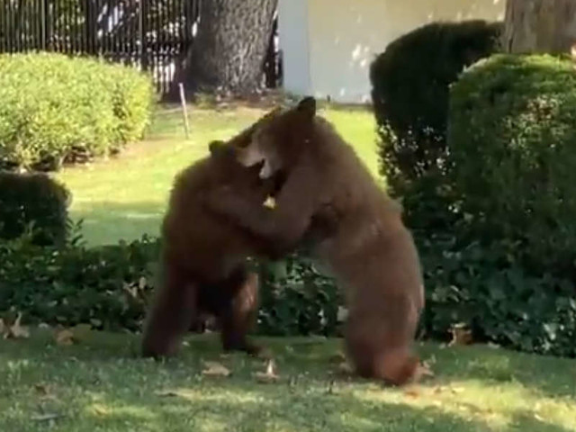 Cops Decide Bear Cubs Playing In Yard Are Too Cute To Interrupt