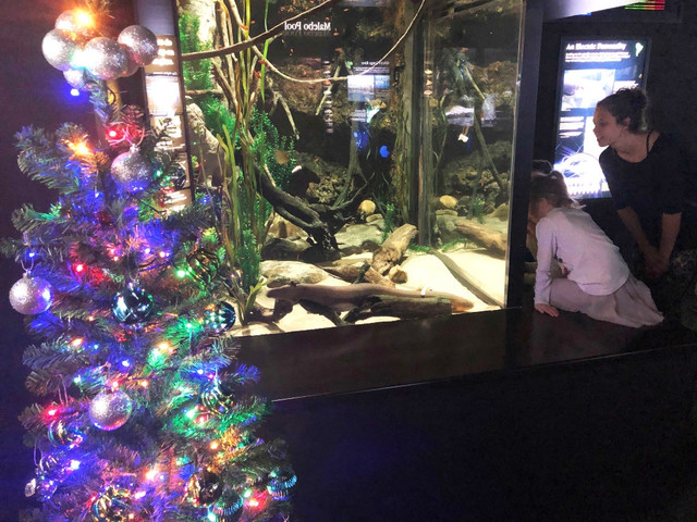 WATCH: Electric Eel Lights Up Aquarium's Christmas Tree And Tweets About It