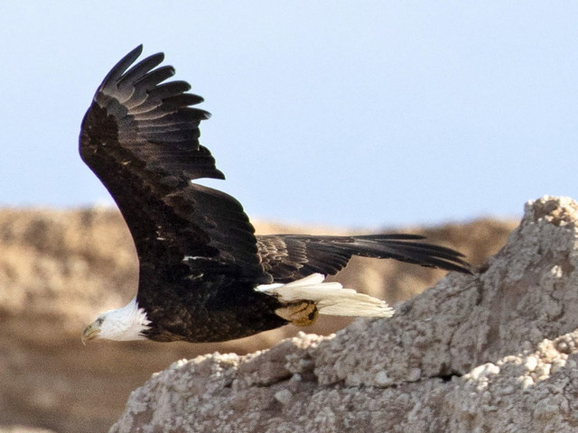 Lake Mead eagle count tallies majestic birds