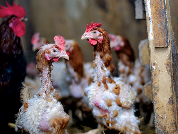 Making Sense Of The Molting Process In Chickens