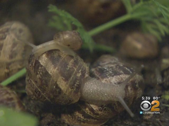 Long Island Snail Farm Brings Escargot To East Coast