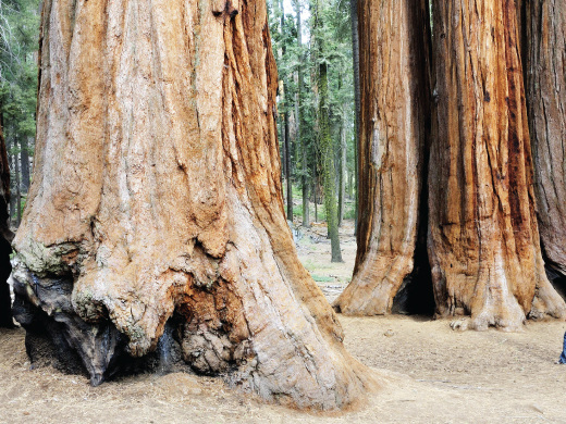 130th anniversary: A look at the sequoia trees in the nation's second National Park