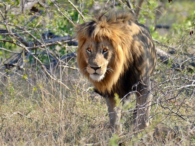 Hunter Lures Lion Dad Out Of Protected Park So He Can Kill Him