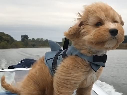 Paddington the Cavapoo sits on the windscreen as he takes his first speedboat ride