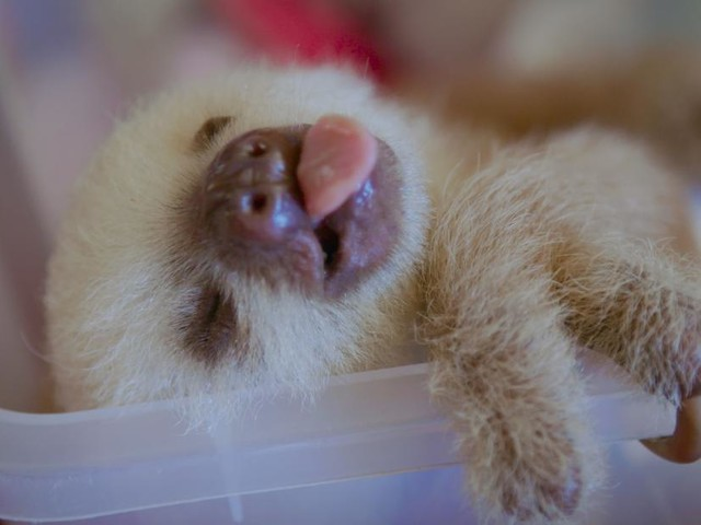 These baby sloths are living their best life