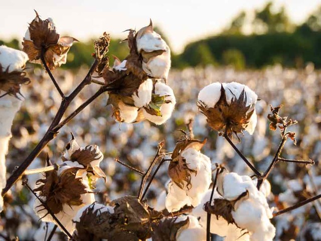 Why I'm Paying Farmers to Convert to Biodynamic Cotton