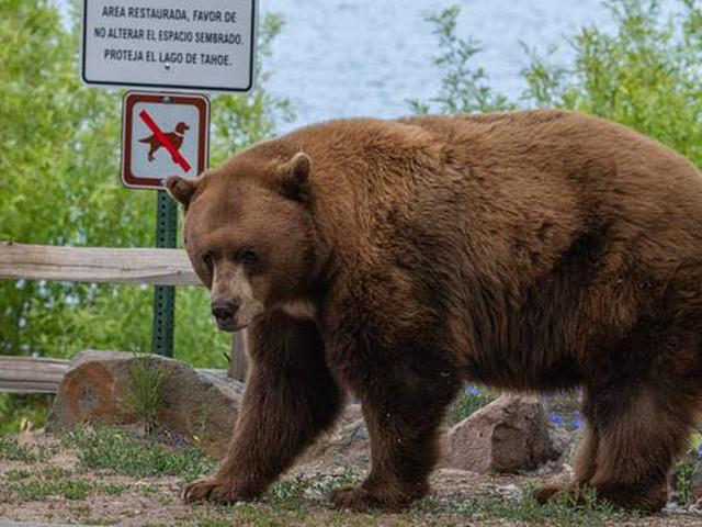 Deputies Warn Lake Tahoe Tourists About Cornering Bears For Photos