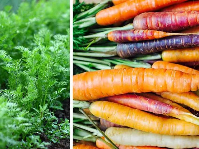 How to Grow Carrots in Colors of the Rainbow