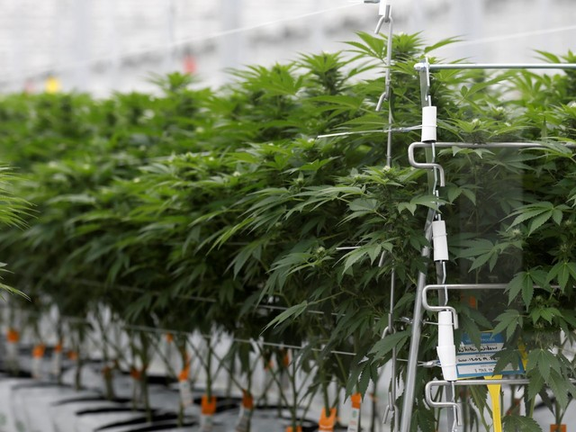 Here are the 3 top pot stocks to bet on in the US and one to avoid, according to Wall Street's leading cannabis analyst