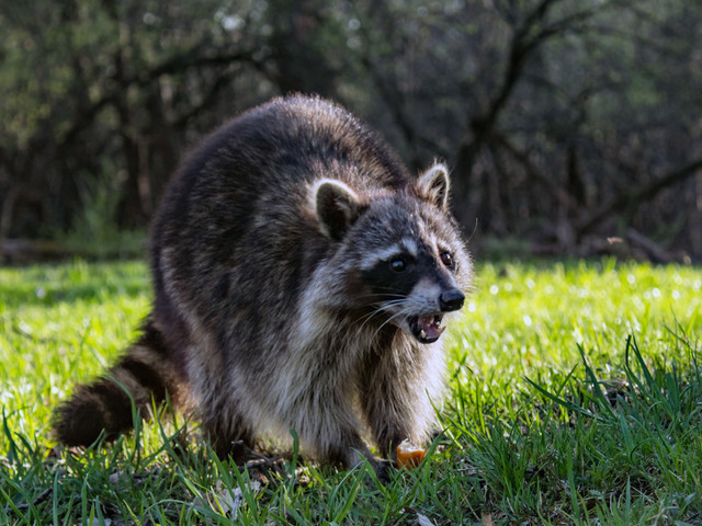 City to vaccinate raccoons for rabies in Manhattan parks