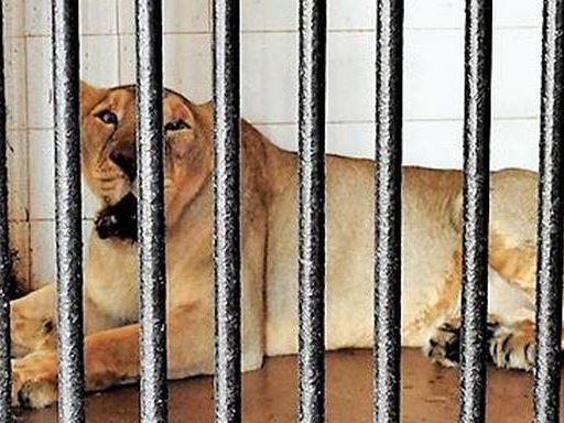 Vizag zoo gets purebred Asiatic lions