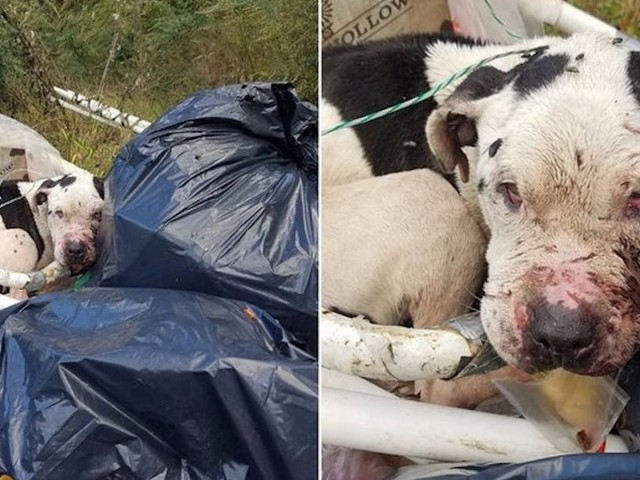 Sweetest Dog Was Tied To Dumpster And Left To Die