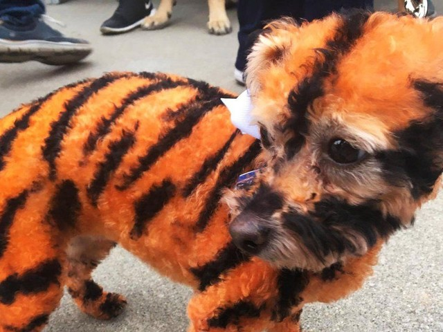 Let's look at pictures of good dogs dressed as tigers watching baseball