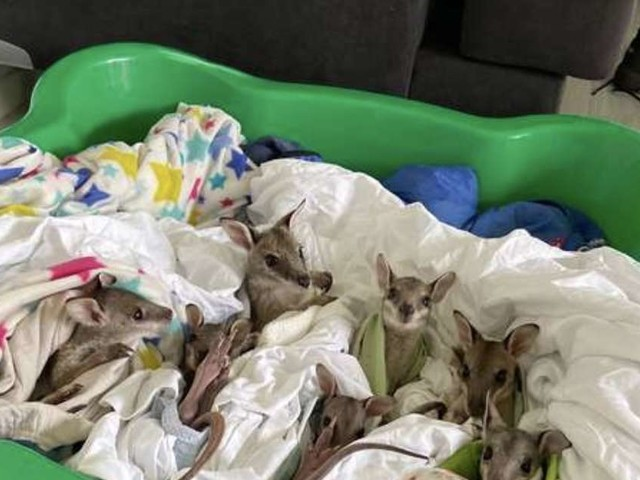 Wallaby Babies Saved From Australian Fires Are As Cozy As Can Be