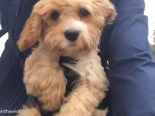 Adorable cockapoo puppy Archie pedals the air as he's taken on his first bicycle ride