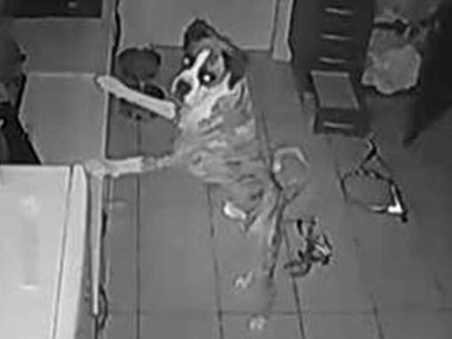 Pet camera footage helped save boxer dog's life after he swallowed shards of broken glass