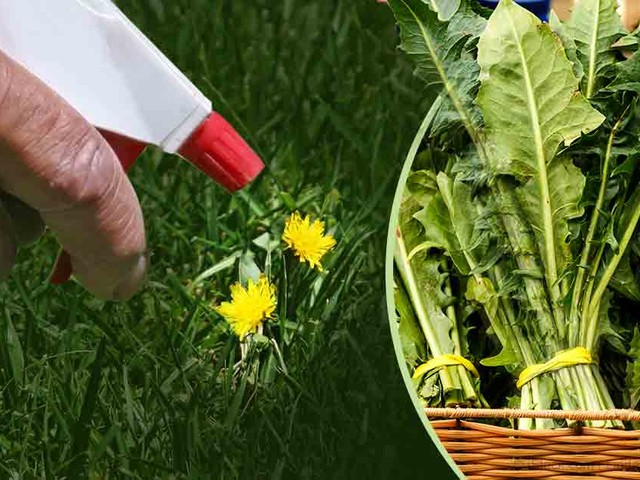How to Grow Dandelion Greens