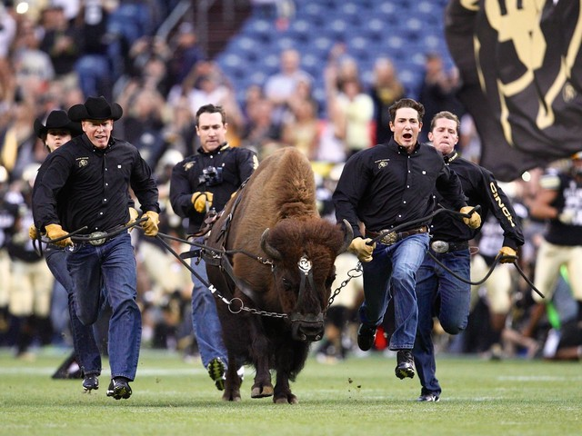 University of Colorado's 1,200-pound buffalo mascot forced to retire because she runs too fast