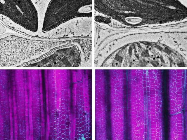 Detective work inside plant cells finds a key piece of the C4 photosynthesis puzzle