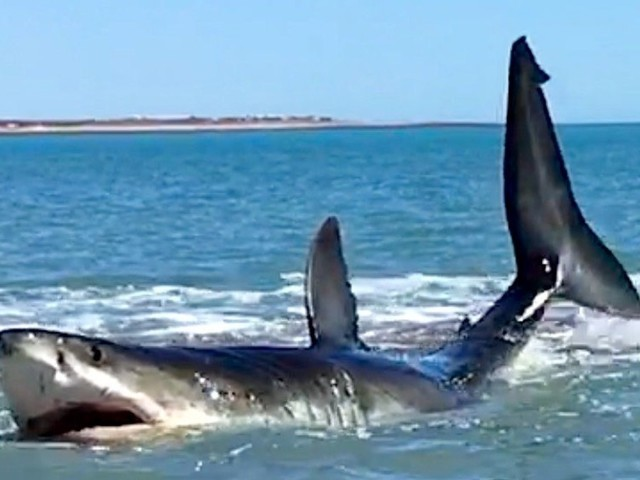 'Holy S***!': Man Films Massive Great White Thrashing In Shallow Water