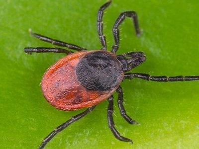 What You Should Know About Ticks And Lyme Disease In Maryland