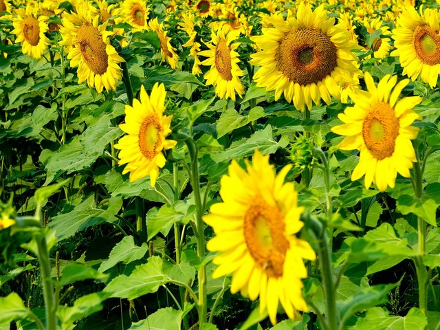 North Dakota's Sunflower Bloom Creates Must-See Fields Of Gold