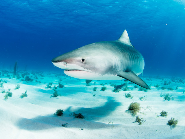 Baby tiger sharks chow down on sparrows and doves: scientists