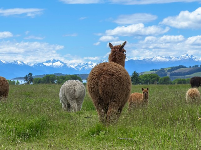 Here's Why Scientists Are Poring Over Ancient Alpaca Poo